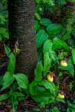 Small Yellow Lady's-slipper, Ridges Sanctuary, Door County, WI