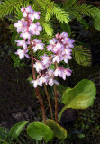 Pink-flowered Pyrola, Ridges Sanctuary, Door County, WI