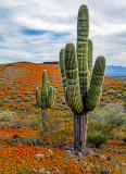 Saguaro and poppies, Peridot Mesa, San  Carlos Apache Reservation, AZ