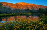 Verde River Sunflowers, Clarkdale,AZ