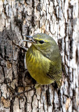 Orange-crowned Warbler, Camp Verde, AZ