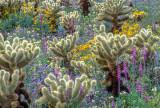 Cholla Cactus and annuals, Anza Borrego S. P., CA