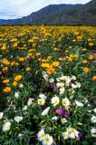 Desert Sunflowers & Primroses, Anza Borrego S. P., CA