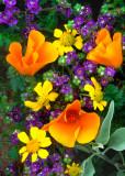 (DES6) Poppies, Phacelia, and Brittlebush, AZ