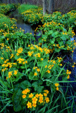 Marsh Marigolds, White Fish Bay, WI