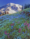 Paradise Meadow, Mt. Rainier, WA