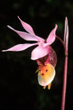(O2) Calypso orchid, Flowerpot Island, Ontario, Canada