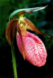 (O3) Pink lady's-slipper, Ridges Sanctuary, WI