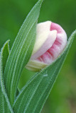 (O9) Showy lady's-slipper bud , Ridges Sanctuary, Door County, WI