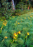 (MW9) Yellow Lady's-slippers among Horsetail Rushes, Ridges Sanctuary, Door County, WI