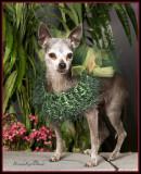 Limbo Chihuahua Rescue