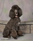 Poodles - Andy and Bella Rose....................................................
