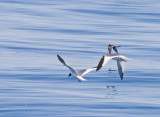 Sabine's Gulls and Fork-tailed Storm-Petrel