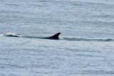 Fin Whale by Joe Blowers