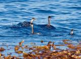 Eared Grebe and kelp