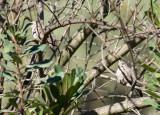 Common Ground-Dove