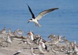 skimmer and 4 shorebirds
