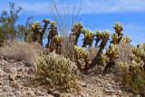 Anza-Borrego Desert: Cactus Loop Trail