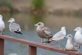 California and Ring-billed Gull