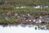 Shorebirds and garbage