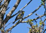 Yellow-rumped (Myrtle x Audubon's) Warbler