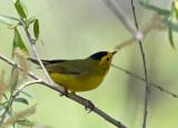 Warbler-like Songbirds