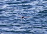 California Flying Fish
