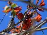 Nuttall's Woodpecker in Coral Tree