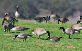 Cackling Goose in front of Canada Goose