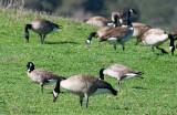 Cackling Goose behind Canada Goose