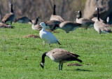 Snow Goose and Canada Goose