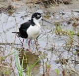 Black-necked Stilt and chick