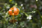 Humboldt Lily