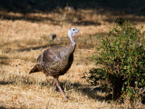 Wild Turkey
