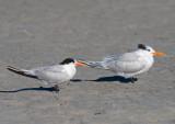 Elegant vs Royal Tern