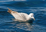 Herring Gull x Glaucous-winged (Cook Inlet) Gull