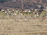 Cackling Goose amid Canada Goose