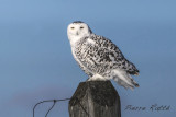 Harfang des neiges, Snowy Owl