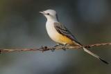 Flycatcher_Scissor-tailed