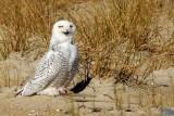 Owl_Snowy