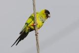 Parakeet_Nanday