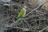 Parakeet_Monk