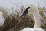 Swan_Trumpeter