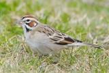 Sparrow_Lark