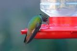 Hummingbird_Buff-bellied