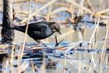 Blackbird_Rusty