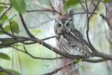 Owl Screech-Owl_Eastern