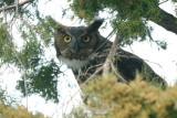 Owl_Great Horned