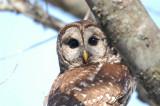 Owl_Barred