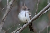 Flycatcher_Ash-throated